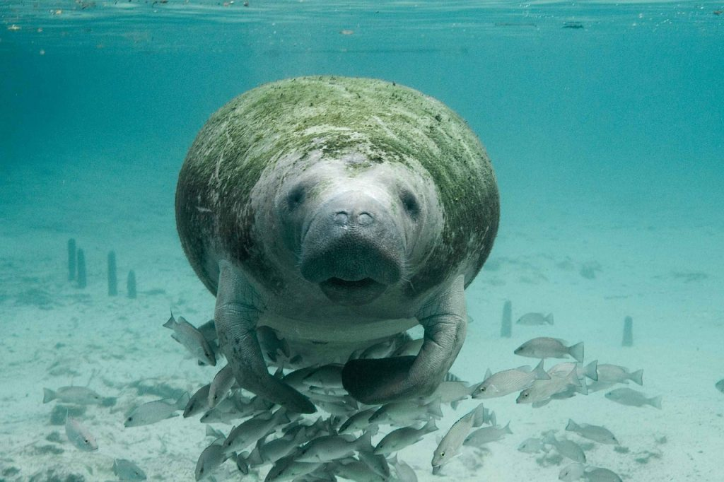 Travel bucket list #2 - swimming with manatees
