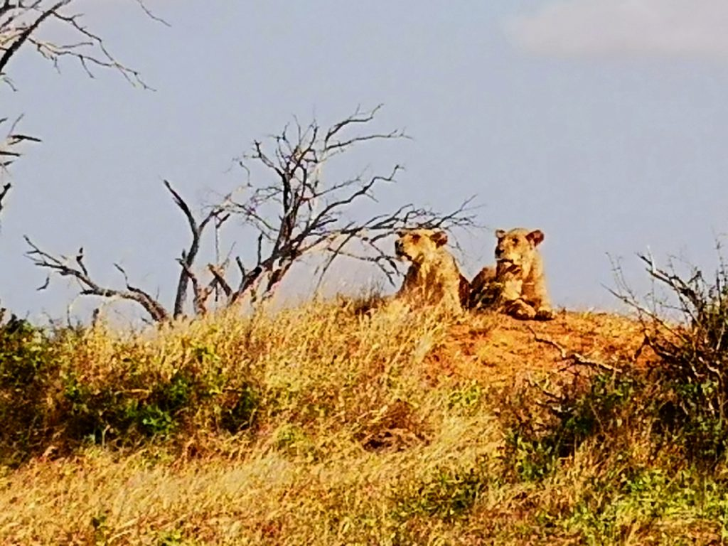 Two lionesses spotted on the Kenya safari tour