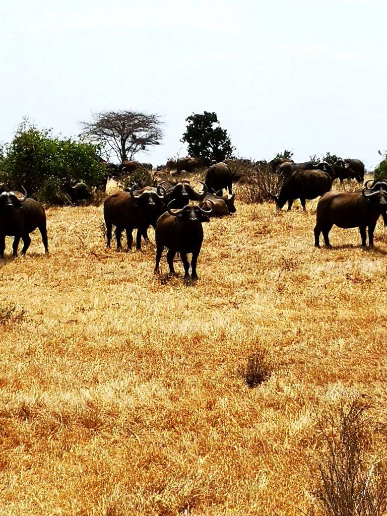 Wildebeest on the Kenya safari tour